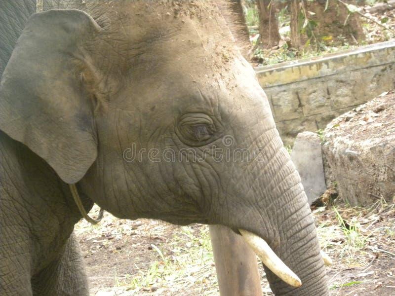 Kalv för indisk elefant royaltyfri fotografi