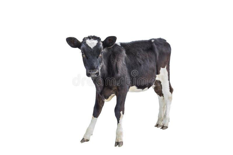 Kalv ko på vit bakgrund, lantbruk, vit bakgrund, ungulate arkivfoton
