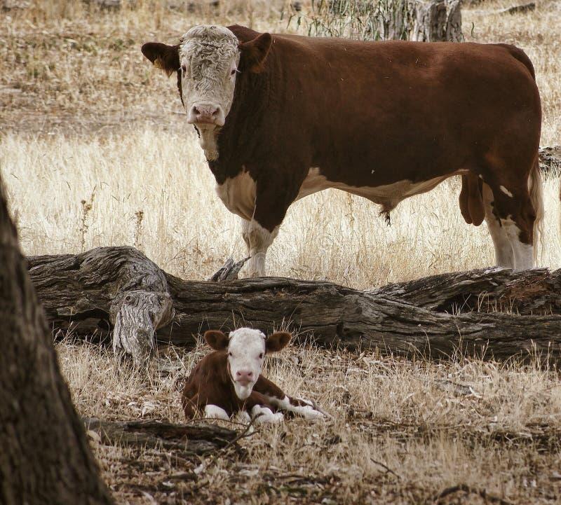 Kalv med tjuren arkivbild