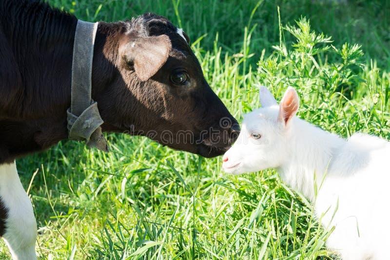 Kalv och get fotografering för bildbyråer
