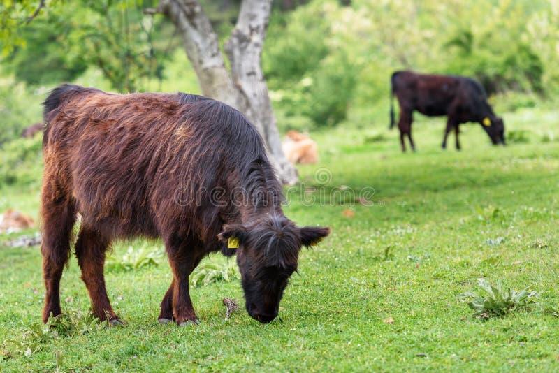 Kalvar för nötköttnötkreatur fotografering för bildbyråer