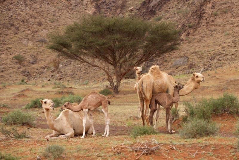 kalvar kamel arkivbilder