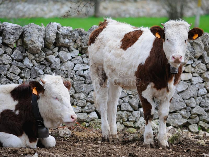Kalvar skrämmer, i att fostra boskap royaltyfri fotografi
