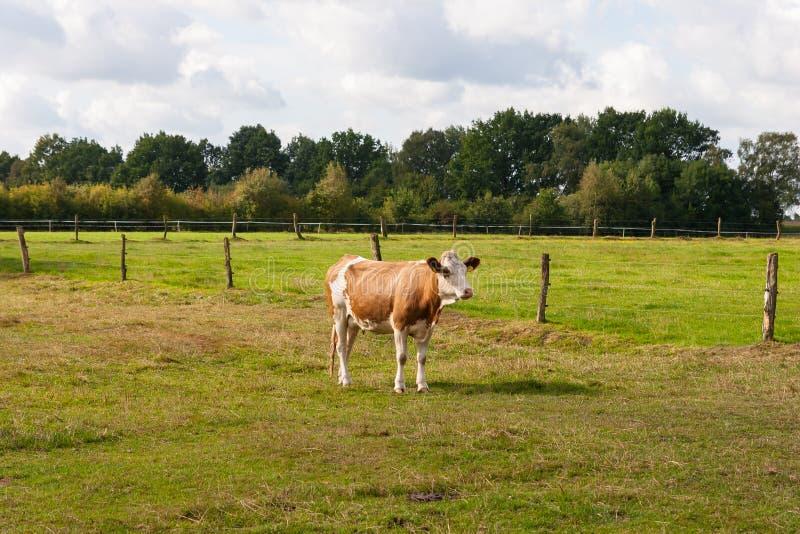 Kalven på ett saftigt betar fotografering för bildbyråer