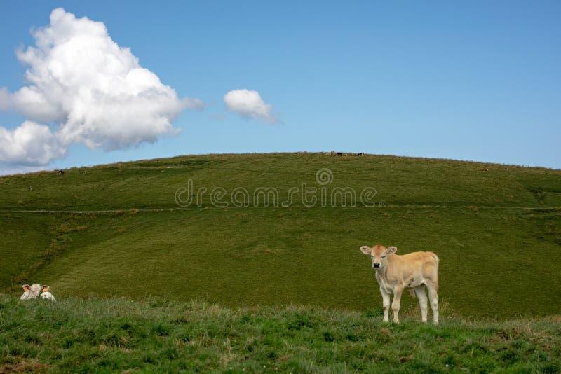 Kalvkött som poserar i ängarna royaltyfri fotografi
