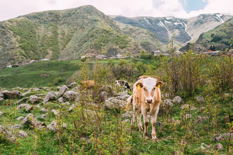Kalvkon som äter gräs i vår, betar Ko som betar på en gräsplan arkivbilder