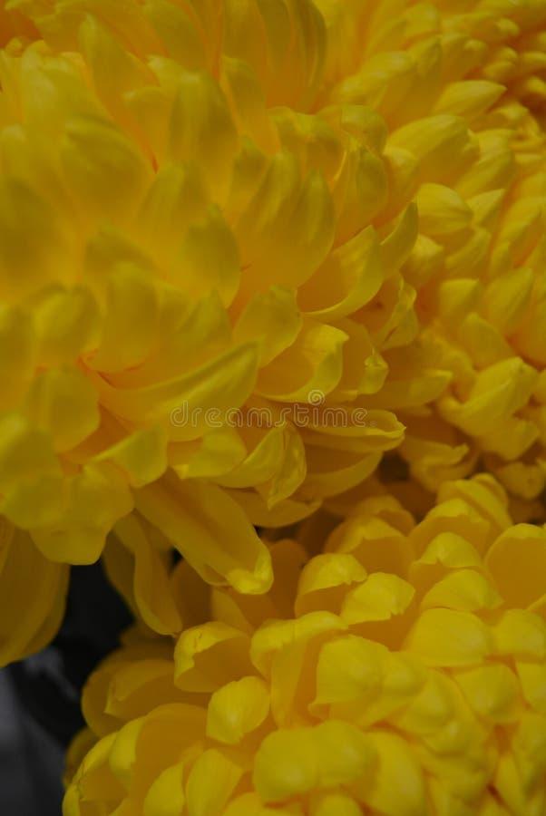 Kalyaned ukrainska blommor för härlig höst, gula krysantemumknoppar med stora och uppsluppna gula inflorescences, adelsman flowe fotografering för bildbyråer