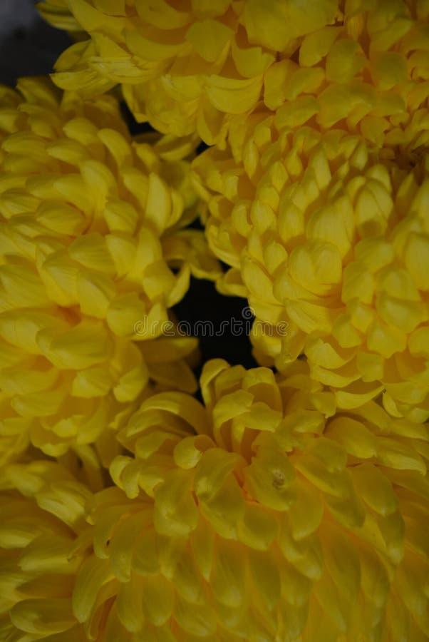 Kalyaned ukrainska blommor för härlig höst, gula krysantemumknoppar med stora och uppsluppna gula inflorescences, adelsman flowe arkivbild