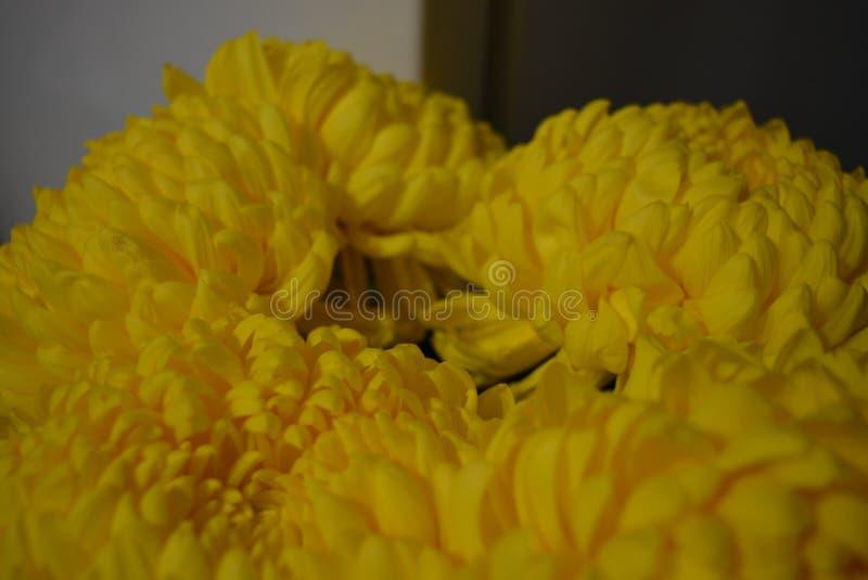Kalyaned ukrainska blommor för härlig höst, gula krysantemumknoppar med stora och uppsluppna gula inflorescences, adelsman flowe arkivfoto