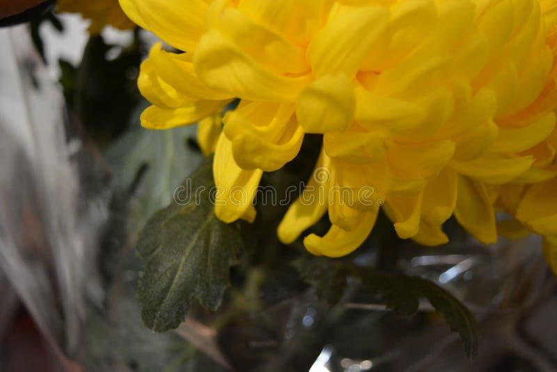 Kalyaned ukrainska blommor för härlig höst, gula krysantemumknoppar med stora och uppsluppna gula inflorescences, adelsman flowe royaltyfri foto
