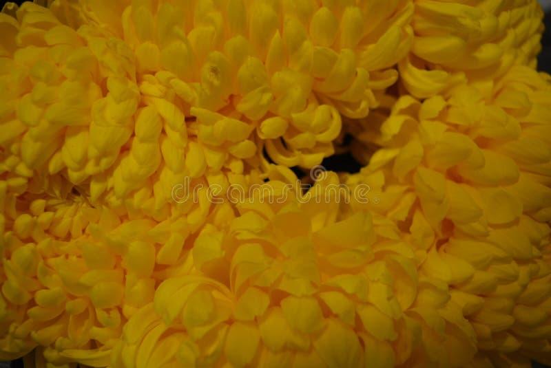 Kalyaned ukrainska blommor för härlig höst, gula krysantemumknoppar med stora och uppsluppna gula inflorescences, adelsman flowe royaltyfri fotografi