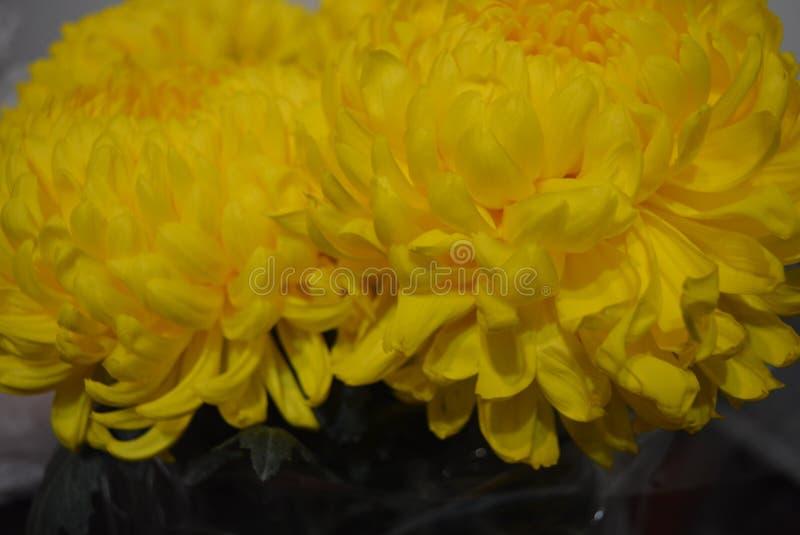 Kalyaned ukrainska blommor för härlig höst, gula krysantemumknoppar med stora och uppsluppna gula inflorescences, adelsman flowe royaltyfria bilder