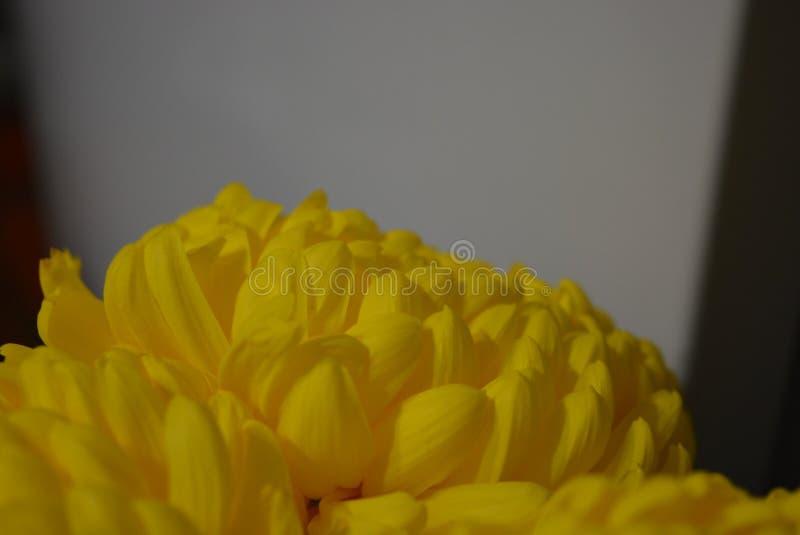 Kalyaned ukrainska blommor för härlig höst, gula krysantemumknoppar med stora och uppsluppna gula inflorescences, adelsman flowe royaltyfri bild
