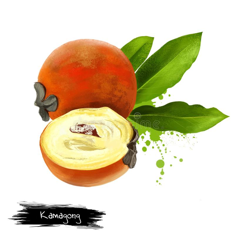 Kamagong, mabolo, talang, boterfruit, fluweelappel vector illustratie
