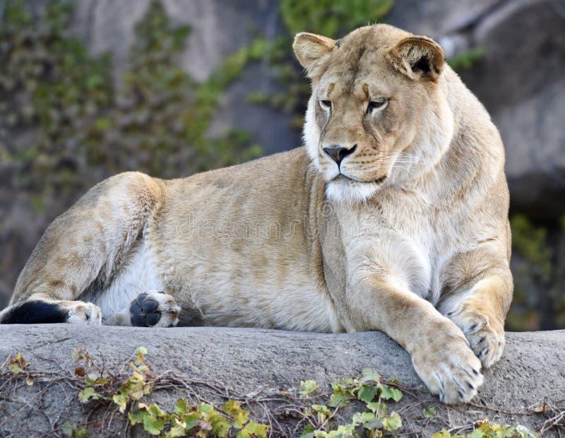 Kamala, królowa zoo obrazy royalty free