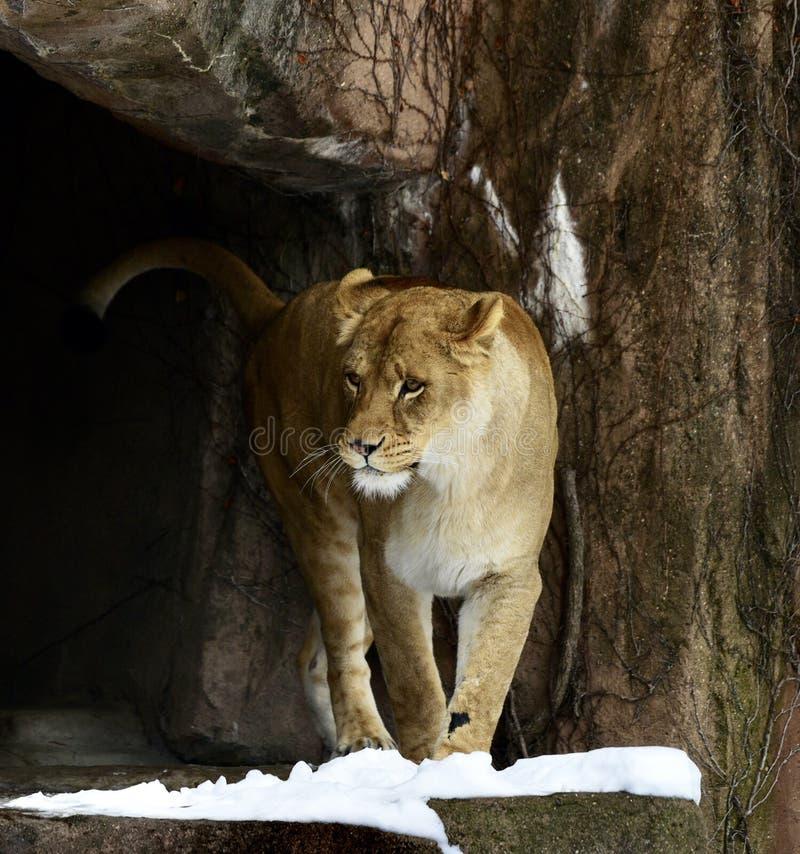 Kamali приходя из пещеры стоковое изображение rf
