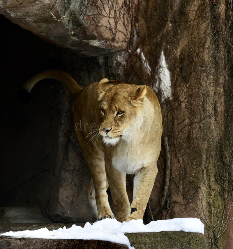 Kamali Coming Out Of Cave. This is a Winter picture of Kamali, a female African Lion coming out of a cave ont a bed of snow in her enclosure at the Lincoln Park royalty free stock image
