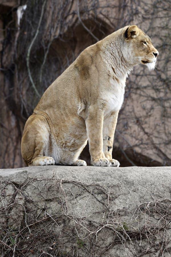 Kamali op de Rots stock foto