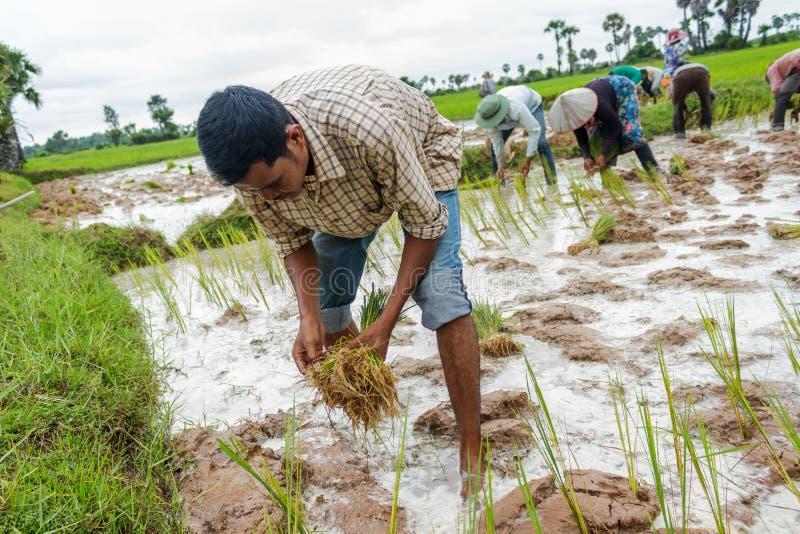 Kambodżańscy ryżowi rolnicy zasadzają ryż w polu fotografia royalty free