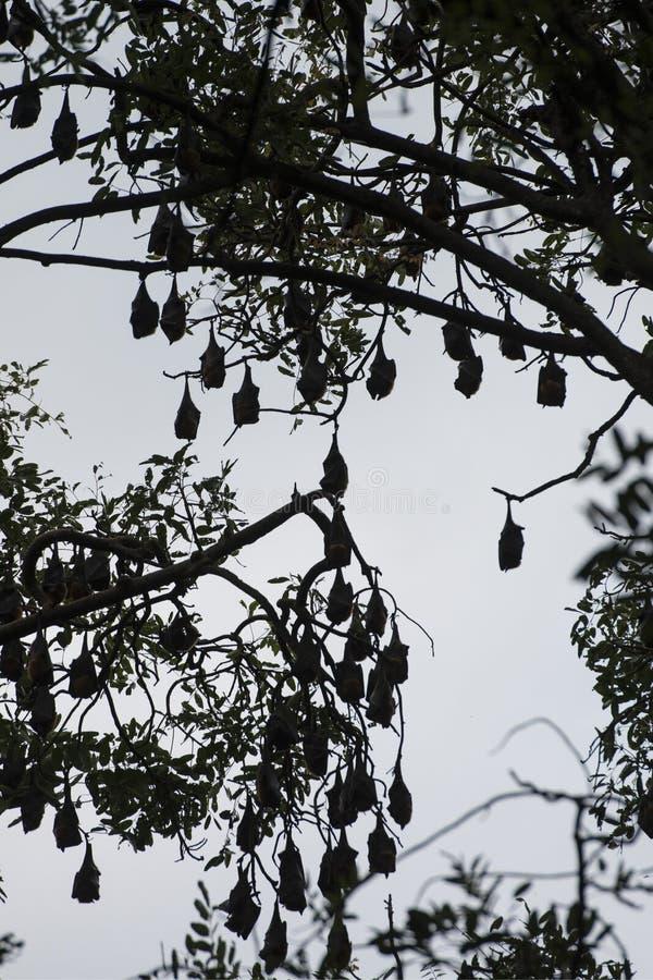 KAMBODŻA KAMPONG THOM nietoperza drzewo fotografia royalty free