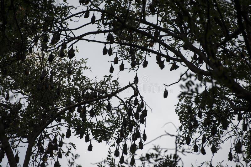 KAMBODŻA KAMPONG THOM nietoperza drzewo zdjęcie royalty free