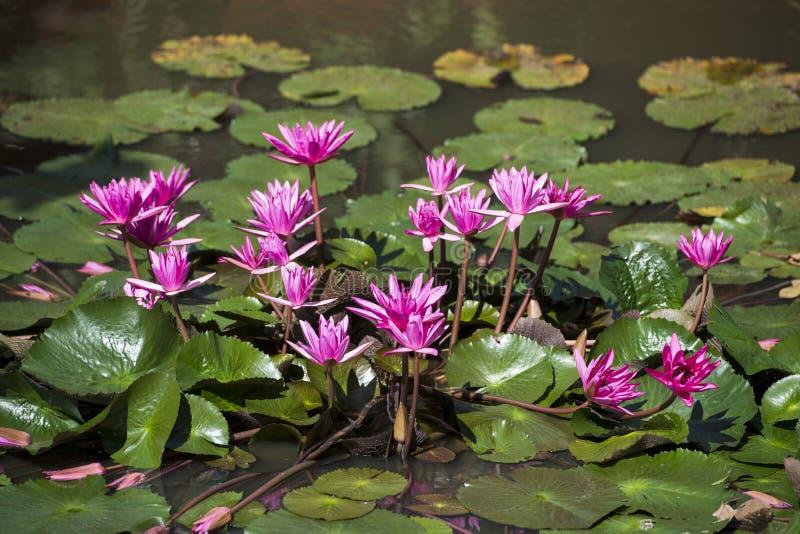 KAMBODŻA KAMPONG THOM OGRODOWY LOTOSOWY kwiat fotografia royalty free