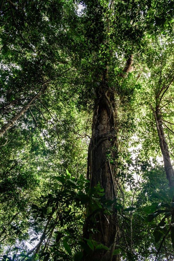 Kambodża wyspa wysoki tropikalny drzewo obrazy royalty free
