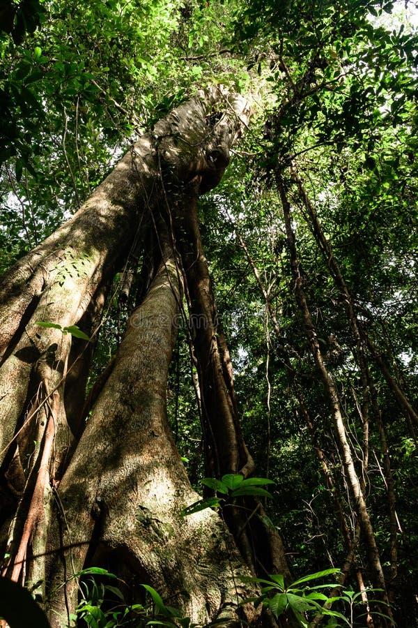 Kambodża wyspa wysoki tropikalny drzewo zdjęcie stock