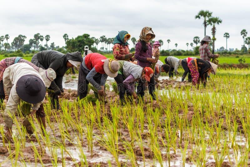Kambodjanska bönder arbetar plantera tillsammans ris arkivfoton