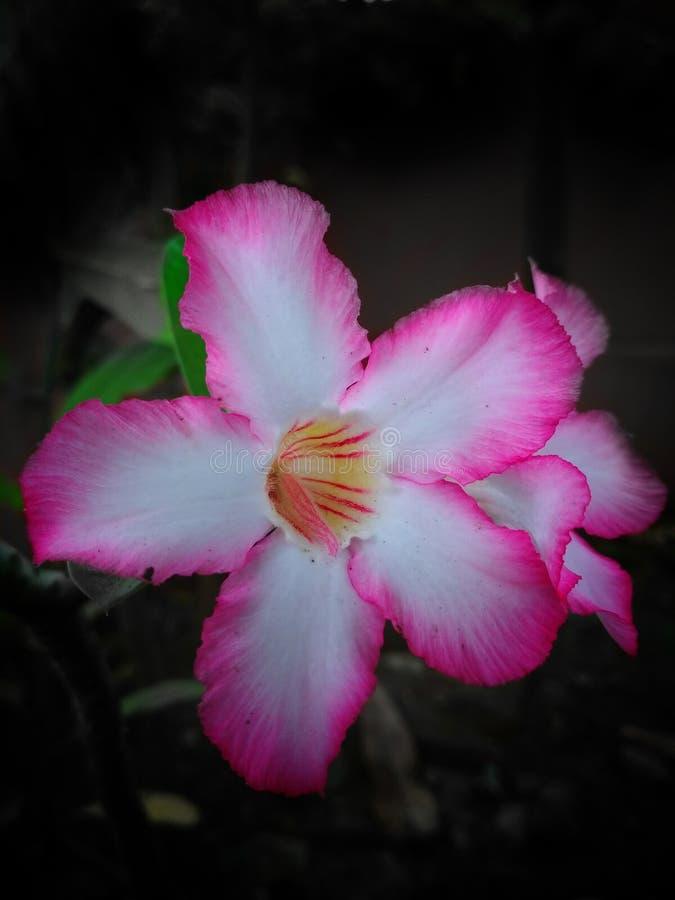 Kambodschanische Blumen stockfoto