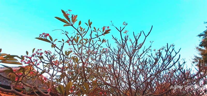 Kamboja& x27; fiore di s nell'indonesiano immagine stock