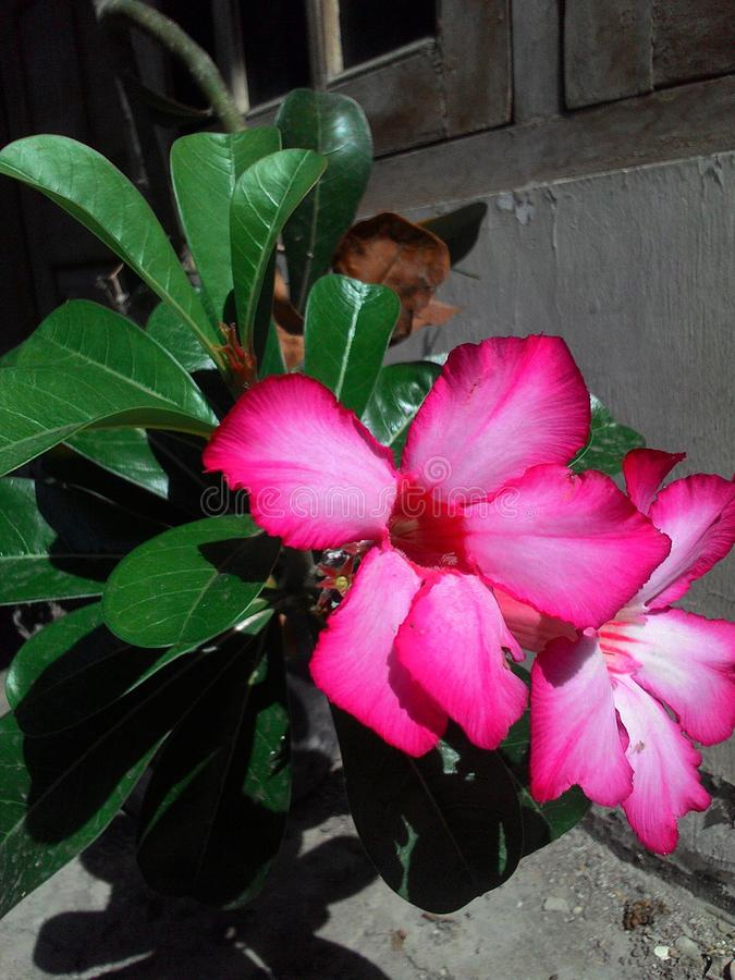 Kamboja flower is beautifull of indonesi stock photos