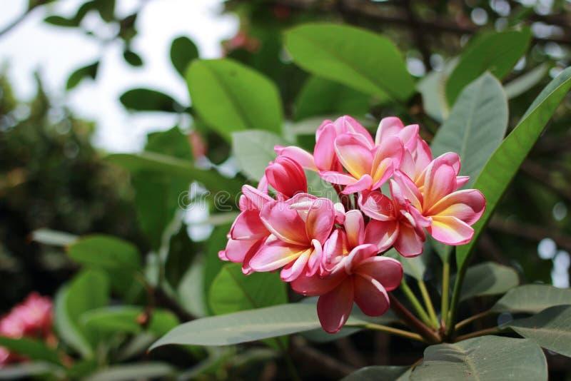 Kamboja kwiat Pumeria obraz stock