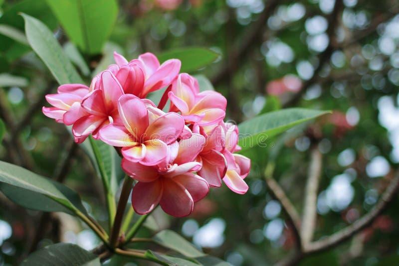 Kamboja kwiat Pumeria obraz royalty free