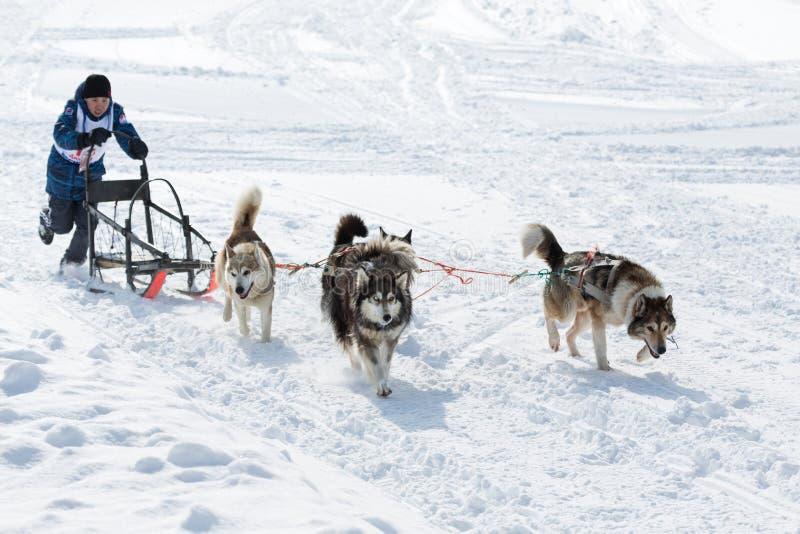 Kamchatka Żartuje sanie psa rasy Dulin, Beringia fotografia royalty free