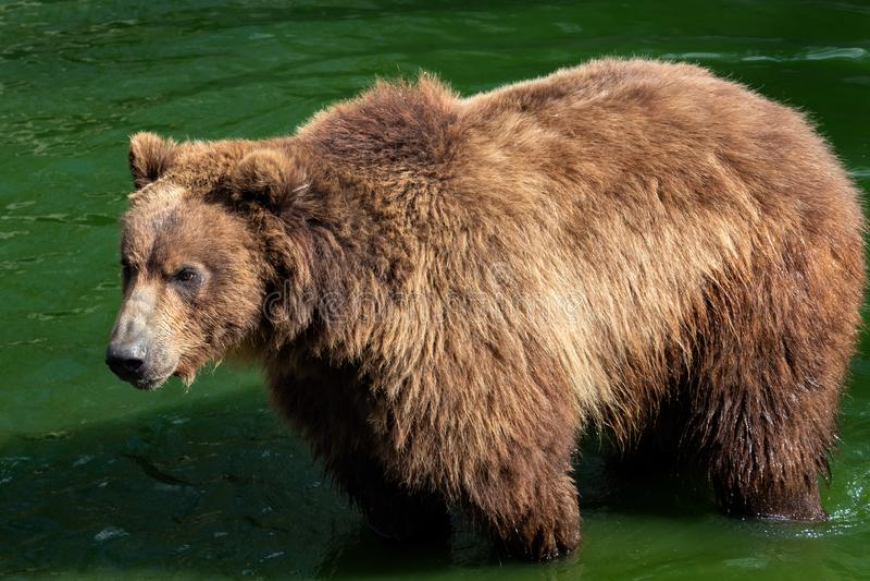 Kamchatka-Bär im Wasser stockfoto