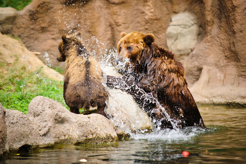 Download Kamchatka bear stock photo. Image of young, play, stone - 37159340