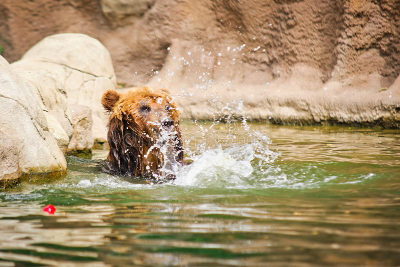 Kamchatka björn royaltyfria bilder