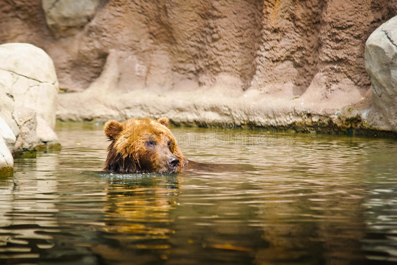 Kamchatka björn fotografering för bildbyråer
