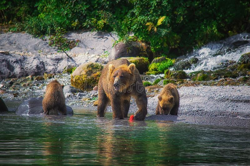 Kamchatka brown bear female and bear cubs catch fish on the Kuril lake. Kamchatka Peninsula, Russia. royalty free stock photos