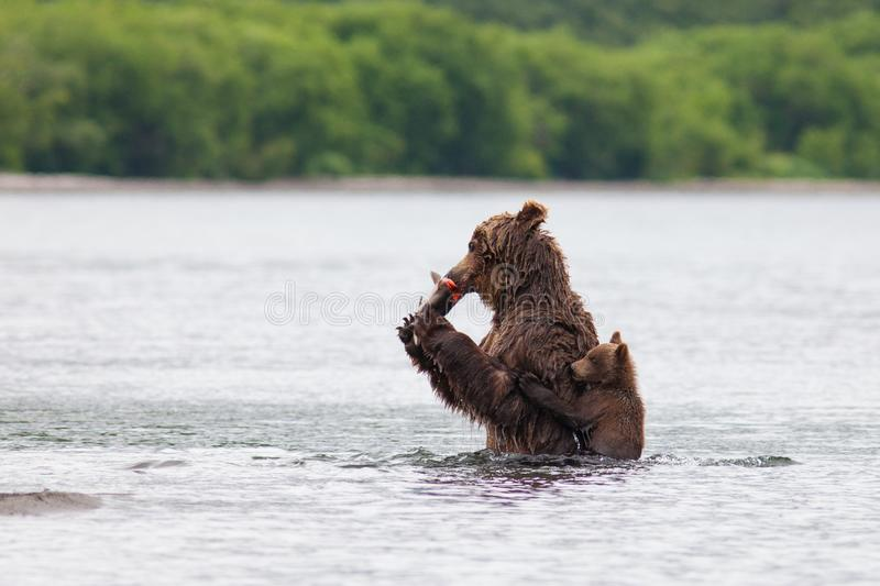 Kamchatka brown bear stock photo