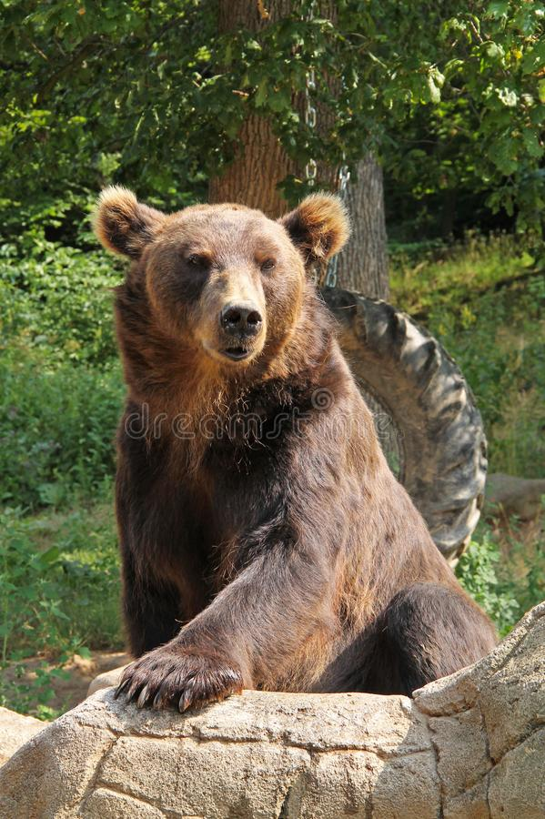 The kamchatka brown bear royalty free stock photos