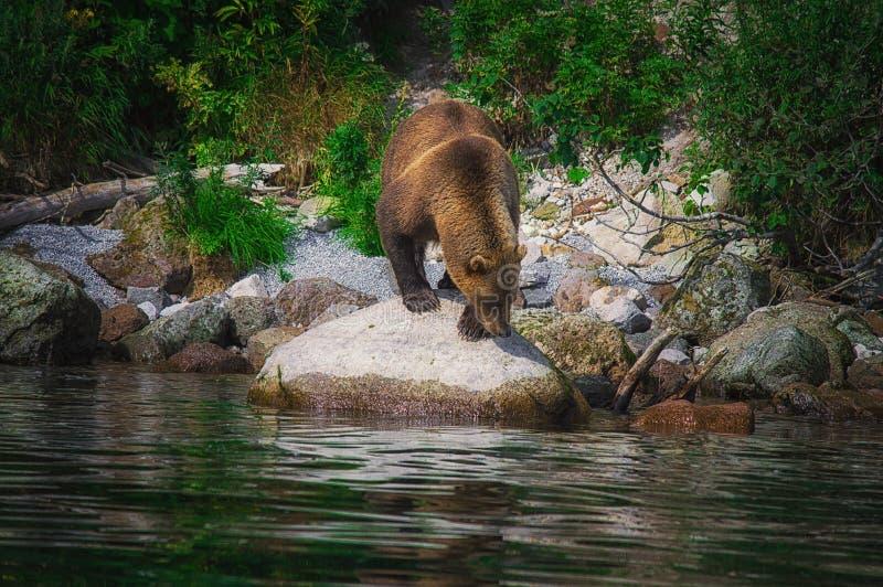 Kamchatka brown niedźwiedzia chwyty łowią na Kuril jeziorze Półwysep Kamczatka, Rosja zdjęcie stock