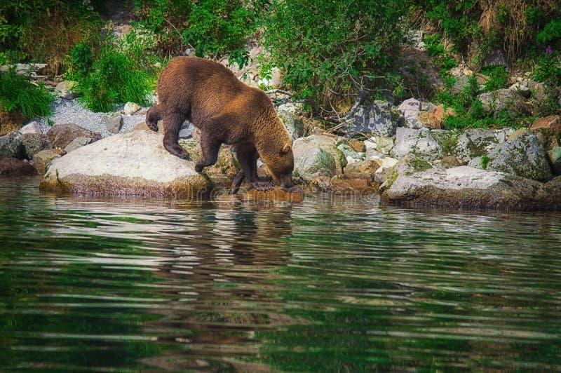 Kamchatka brown niedźwiedzia chwyty łowią na Kuril jeziorze Półwysep Kamczatka, Rosja zdjęcia royalty free