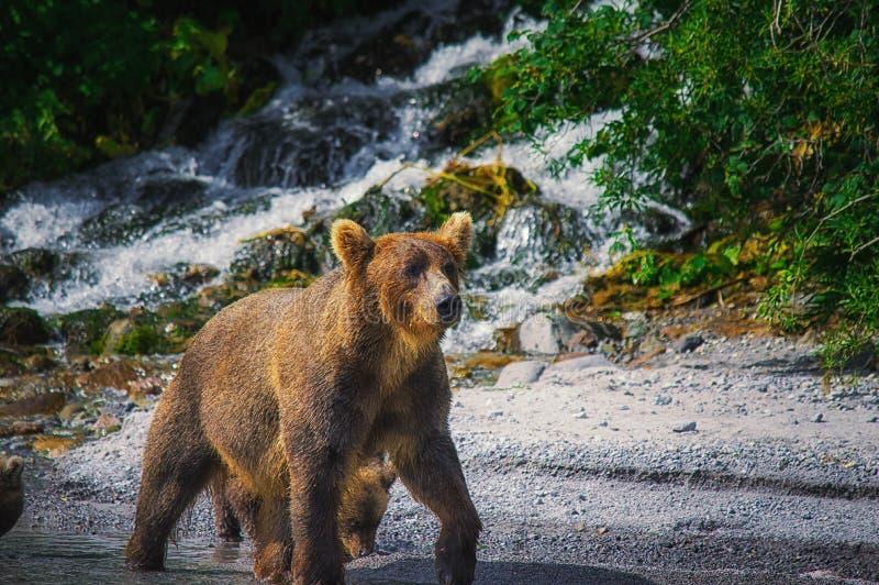 Kamchatka brown niedźwiedzia chwyty łowią na Kuril jeziorze Półwysep Kamczatka, Rosja zdjęcia stock