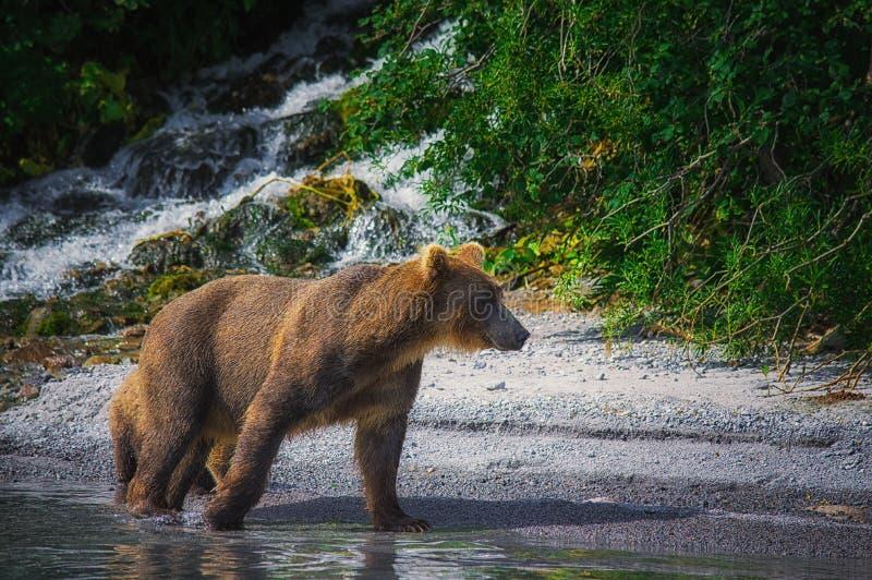 Kamchatka brown niedźwiedzia chwyty łowią na Kuril jeziorze Półwysep Kamczatka, Rosja obrazy stock
