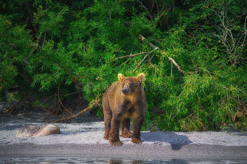 Kamchatka brown niedźwiedzia chwyty łowią na Kuril jeziorze Półwysep Kamczatka, Rosja fotografia stock