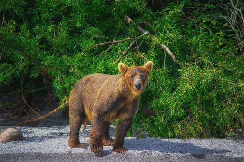 Kamchatka brown niedźwiedzia chwyty łowią na Kuril jeziorze Półwysep Kamczatka, Rosja obrazy royalty free