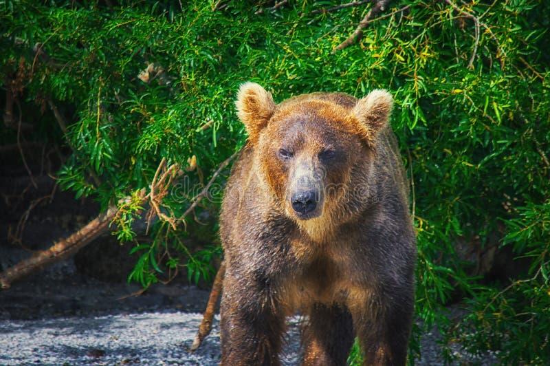 Kamchatka brown niedźwiedzia chwyty łowią na Kuril jeziorze Półwysep Kamczatka, Rosja zdjęcie royalty free