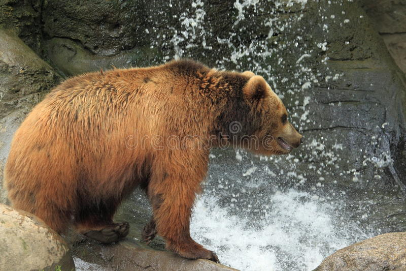 Kamchatka brunbjörn fotografering för bildbyråer
